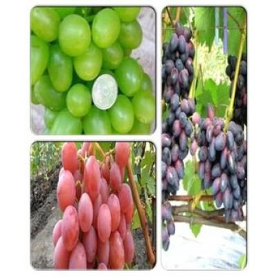 Виноград > коллекция из 3-х сортов: Виноград Красотка => Виноград Дашуня => Виноград Ахиллес